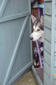 checking out if there are any treats in the shed