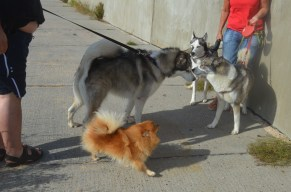 husky friends