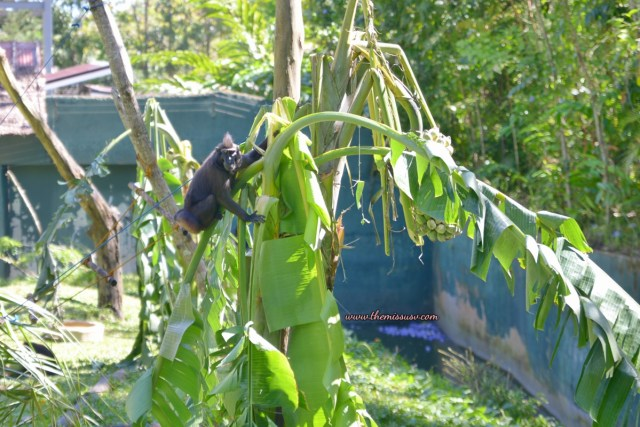 Cebu Safari and Adventure Park- Macaque