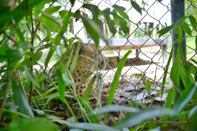 Cebu Safari and Adventure Park - Seeing a Cheetah for the first time