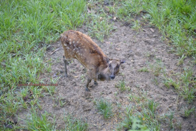 Family Day at the Cebu Safari and Adventure Park - Spotted Deer