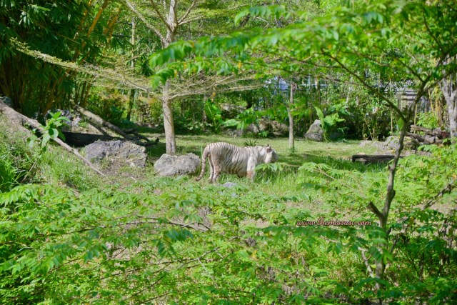 Family Day at the Cebu Safari and Adventure Park - White Bengal Tiger