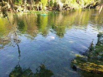 More manatees in the water