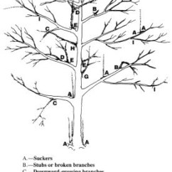 How To Prune An Apple Tree Diagram Club Car Precedent Horn Wiring Pruning A Mature Or Pear | The Modern Gardener