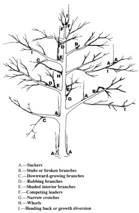 Pruning a mature apple or pear tree | The Modern Gardener