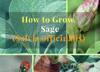 grow sage