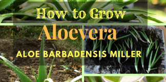 How to Grow Aloe Vera ? ( Aloe Barbadensis Miller )
