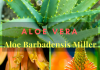What is Aloe-Vera ( Aloe Barbadensis Miller) ? (Scientific Description)