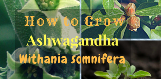 How to Grow Ashwagandha ? (Withania somnifera)