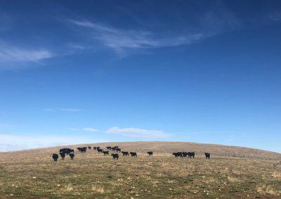 Black Angus cows on the Arapaho Ranch
