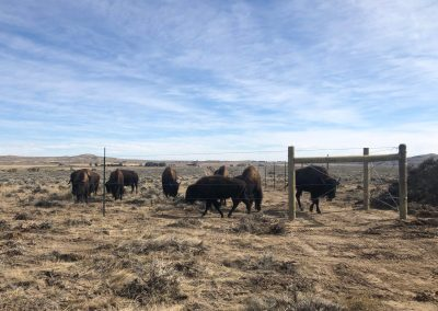 The Northern Arapaho Tribe's new buffalo settles into their new home