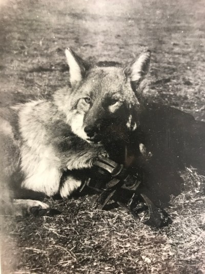 Albert's ancestors controlled wolf populations with traps and other lethal methods.