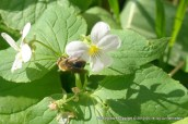 A honey bee drinking from a wild violet at the middle of May
