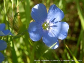 blue flax flower in partial shade