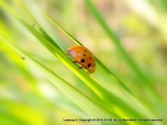 ladybug walking down a blade of grass