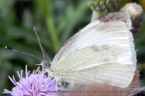 cabbage butterfly on thistle flower - close-up