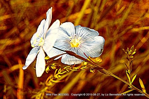 Two Wild Flax Flowers