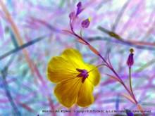 Wild Flax no. 22466