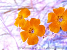 Wild Flax no. 22554