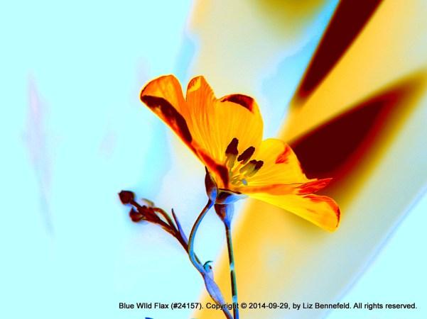 Blue wild flax, false colors, Sept. 29, 2014