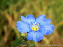 Blue Flax Flower #22417