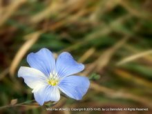 Blue Flax Flower #24422