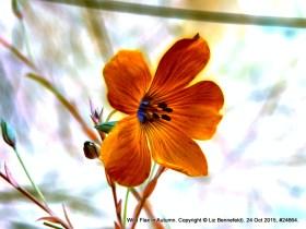 Blue Wild Flax no. 24664