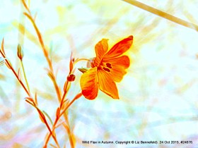 Wild Flax no. 24676