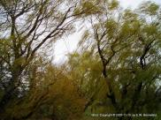 windblown willow branches