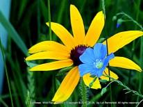 Wild Sunflower, Wild Flax