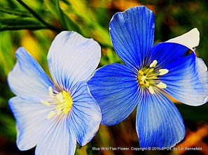 Blue Wild Flax (Art #858)