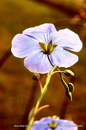 Blue wild flax flower (#880)