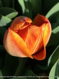 Partially Closed Tulip