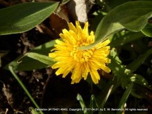 A Dandelion (My Favorite)
