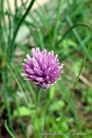 Chives & Grass