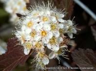 ninebark flowering shrub