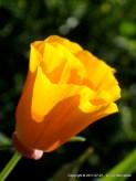 California Poppy, Lizl Bennefeld (2017-07-07)
