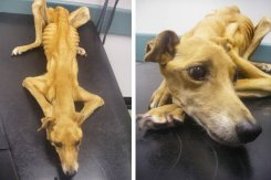 fly_lurcher_abuse_shocking-370791 (1)