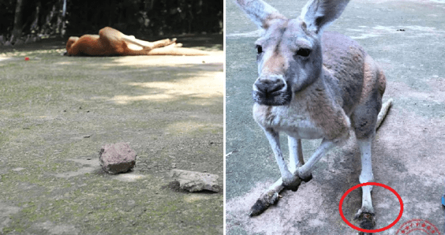 inconsiderate-zoo-visitors-kills-kangaroo-by-throwing-bricks-just-to-see-her-jump-world-of-buzz-4