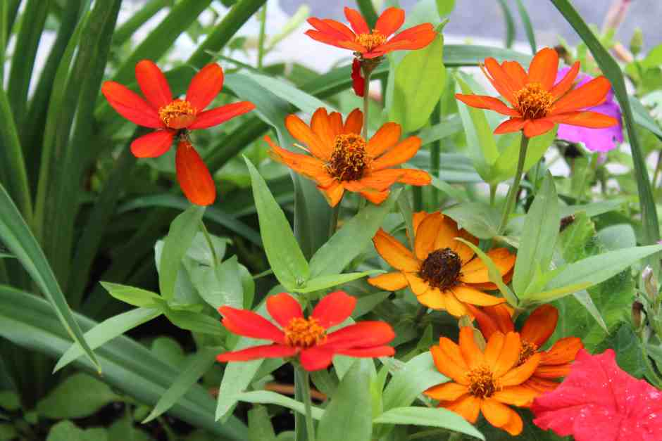 Orange and red flowers in the memorial garden in schoharie, ny