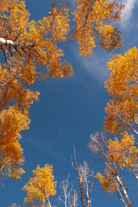 Fall In Wyoming, Saratoga, Aspens Looking Up at Blue Sky