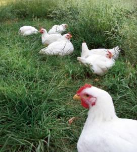 MEN-JJ09-chickens-for-meat-1 (1)
