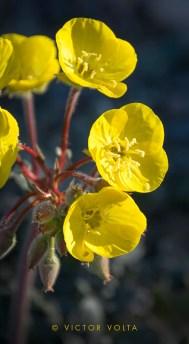 Golden primrose above Panamint Springs
