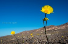 Desert Gold (Geraea canescens) north of Stovepipe Wells