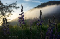 Lupines at Lake Don Pedro