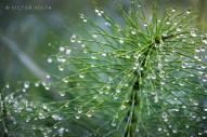 Equisetum (horsetail)
