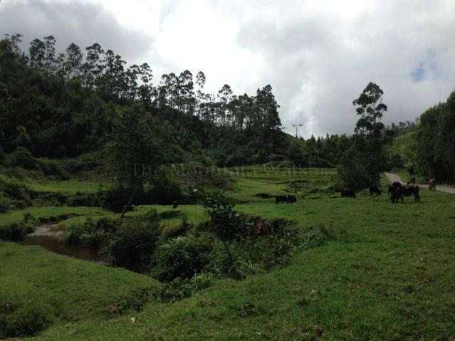 Cow Trail 02