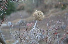 Flower of a thorny plant awaiting spring on the way up to Shaali Tibba, Himachal Pradesh, India; Photo: Ameen Shaikh