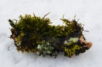 Broken bark of oak covered in moss and lichen at Hatu Peak, Himachal Pradesh, India; Photo: Ameen Shaikh