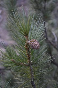 Young cone of the thick long needled deodar tree in Kalpa , Himachal Pradesh, India; Photo: Ameen Shaikh